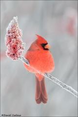 Northern Cardinal_4434-18