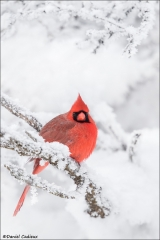 Northern Cardinal_4553-18