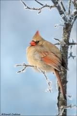 Northern Cardinal_4743-18