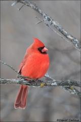Northern_Cardinal_2359-16