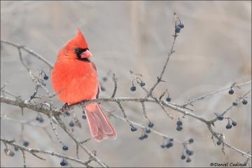 Northern_Cardinal_2754-16