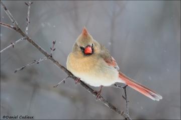 Northern_Cardinal_3873-17