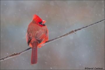 Northern_Cardinal_5052-15