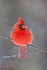 Northern_Cardinal_5177-15