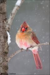 Northern_Cardinal_5778-15