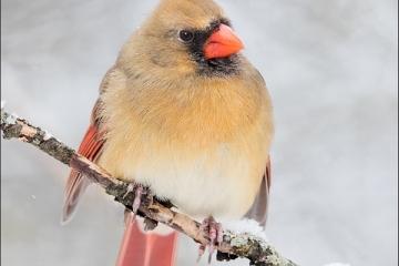 Northern-Cardinal_0722-19