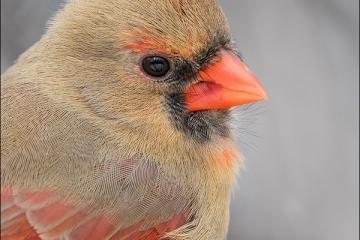 Northern-Cardinal_3020-18