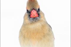 Northern_Cardinal_2391-16