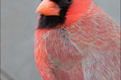 Northern_Cardinal_2480-16