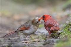 Northern_Cardinal_2850-17