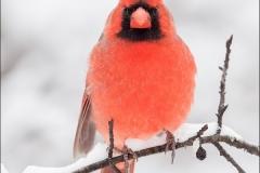 Northern_Cardinal_3050-16