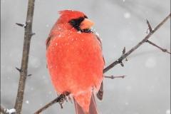 Northern_Cardinal_3733-17