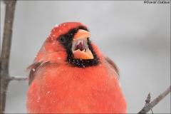 Northern_Cardinal_3846-17