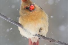 Northern_Cardinal_5846-15