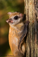 Northern_Flying_Squirrel_5033-13