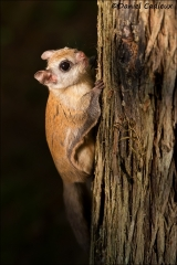 Northern_Flying_Squirrel_5045-13