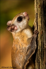 Northern_Flying_Squirrel_5049-13