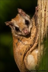 Northern_Flying_Squirrel_5124-13