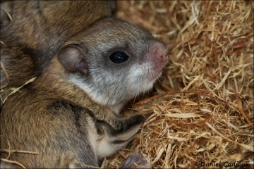 Northern_Flying_Squirrel_8265-13