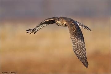 Northern_Harrier_3035-15