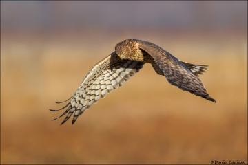 Northern_Harrier_3039-15