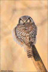 Northern Hawk Owl_9779-18