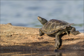 Northern Map Turtle_2877-18