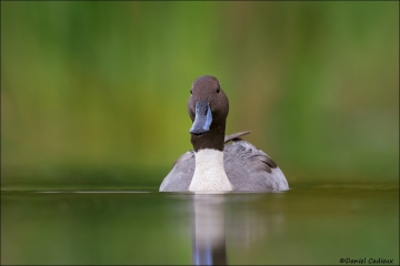 Northern_Pintail_1554-16
