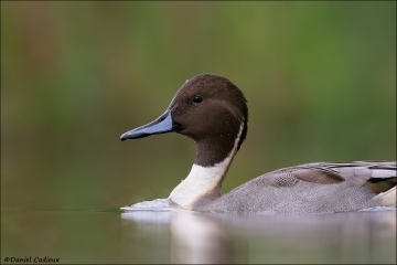 Northern_Pintail_1571-16