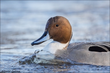 Northern_Pintail_4618-16