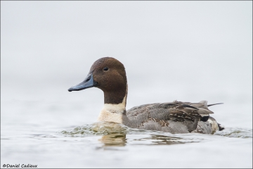 Northern_Pintail_9630-14
