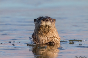 Northern_River_Otter_2981-15
