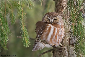 Northern_Saw-whet_Owl_0278-12