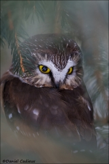Northern_Saw-whet_Owl_6118-15