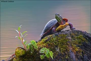 Painted_Turtle_4996-15
