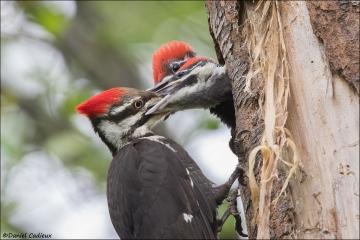 Pileatd_Woodpecker_7527-16