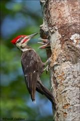 Pileated_Woodpecker_8397-15