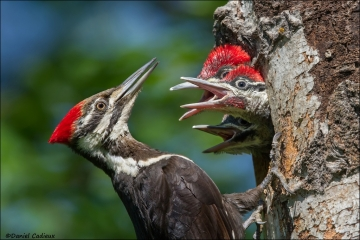 Pileated_Woodpecker_8425-15