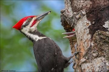 Pileated_Woodpecker_8873-15
