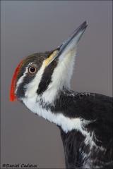 Pileated_Woodpecker_9589-14