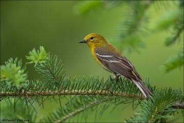 Pine_Warbler_6636-16