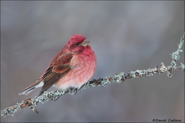 Purple_Finch_0559-14