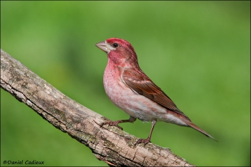 Purple_Finch_7019-11