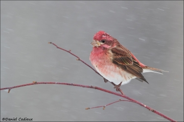 Purple_Finch_7193-16