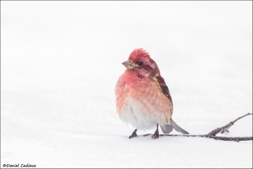 Purple_Finch_7481-16