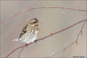 Purple_Finch_7743-16
