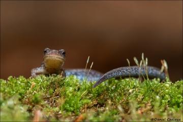 Red-backed_Salamander_1742-16
