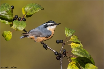 Red-breasted_Nuthatch_2205-16