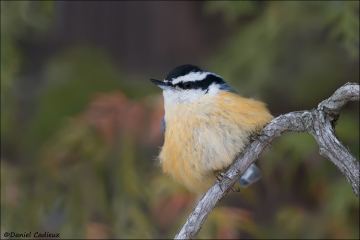 Red-breasted_Nuthatch_5985-15