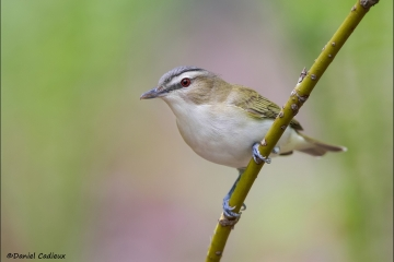 Red-eyed_Vireo_7358-13